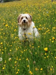 Fini in der Blumenwiese