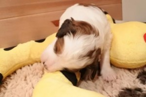 Jägermeister schläft mit hängendem Ohr