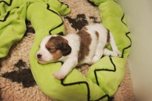 Kamille läuft im Schlaf